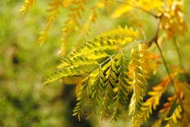 Yellow the Bracken
